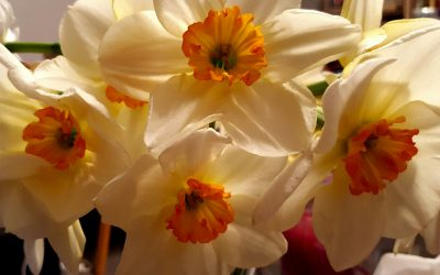 Daffodils :  A Scottish Connection