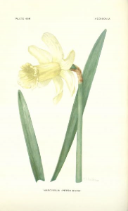 Narcissus Peter Barr